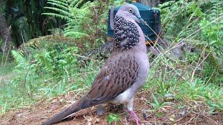 Burung Tekukur liar bernyali