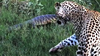 getlinkyoutube.com-Monitor Lizard Tries To Give a Leopard a Slap - Latest Wildlife Sightings