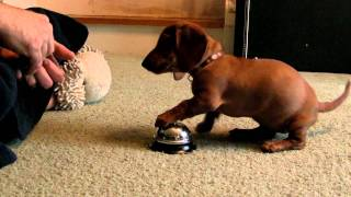 getlinkyoutube.com-Maddie the 10 Week old Dachshund learning to ring a service bell!