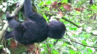 getlinkyoutube.com-Bwindi Mountain Gorilla Babies