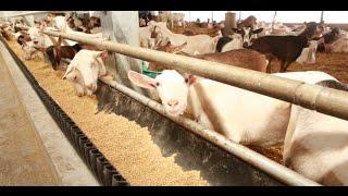 getlinkyoutube.com-Ontario Goat Dairy Farm Tour