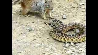 getlinkyoutube.com-Белка vs змея