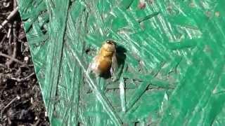 getlinkyoutube.com-Пчелы выбрасывают расплод.