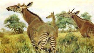 How did the Giraffe Evolve?