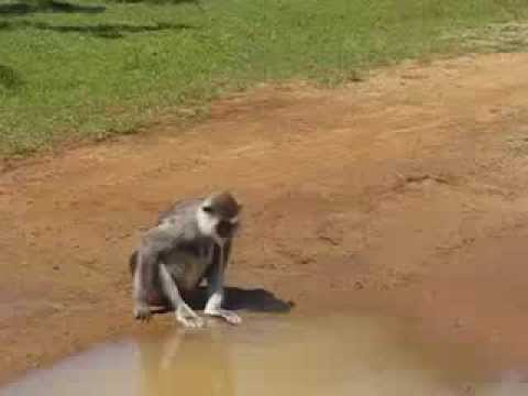 Animal YALA  monkey drinking hot water safari topten@world