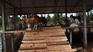 getlinkyoutube.com-Low Cost Stall -Fed Goat Farm Part- I