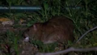getlinkyoutube.com-Geniusz szczura 1/5