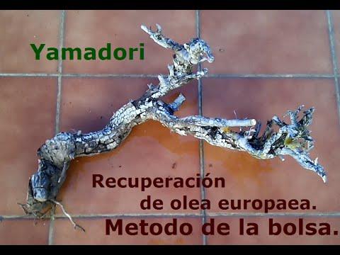 Yamadori - Recuperación de olea europaea- Metodo de la bolsa.