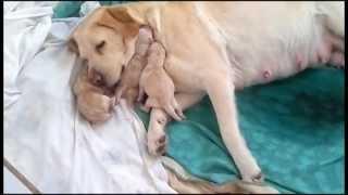 getlinkyoutube.com-Labrador giving birth / amazing!! - Greece (29-01-2013)