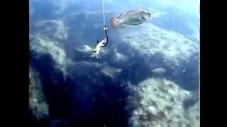 getlinkyoutube.com-كيف يأكل السمك الطعم