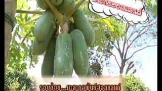 getlinkyoutube.com-คัมภีร์วิถีรวย [ MCOT ] : รวยด้วย มะละกอพันธุ์ฮอลแลนด์