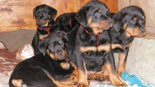 КРАСИВЫЕ ЩЕНКИ РОТВЕЙЛЕРА . Beautiful Rottweiler puppies.Одесса.