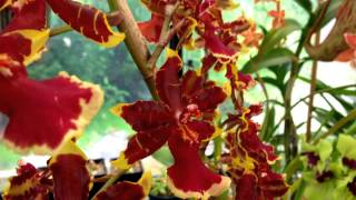 getlinkyoutube.com-August Greenhouse Tour Oncidium Orchids and other Blooming Orchids