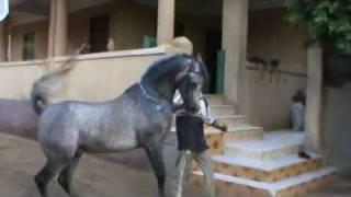 رقص خيل وجمال خيلالحصان اكمل  مروان