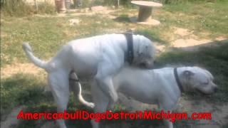 getlinkyoutube.com-How To Stud Your Dog American BullDogs Pt 2