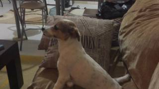 Dog Watches Horror Movie, See His Reactions. Lol