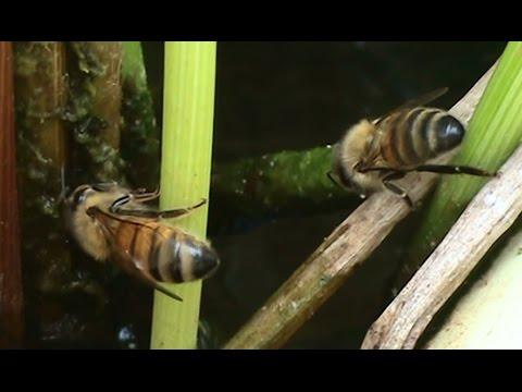 Beekeeping: Honeybees Collecting Water.