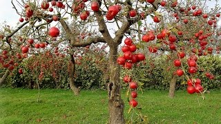 getlinkyoutube.com-Everything You Need To Know About Apple Trees - Including Growing from Seed vs Grafting