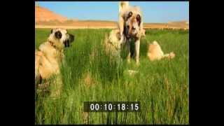 getlinkyoutube.com-Kangal köpeği belgeseli (TRT tarafından çekilen belgeselden 2015)