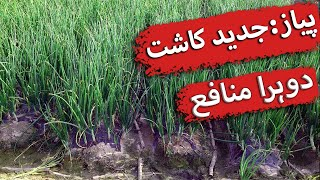High Density Onion Sowing in Pakistan