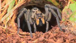 getlinkyoutube.com-Wolf Spiders