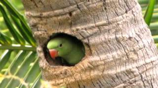 getlinkyoutube.com-Baby Indian Ringneck ( Rose-ringed ) Parakeet @ Mylapore - Chennai - India