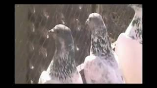 getlinkyoutube.com-Pakistan Sialkot Pigeons