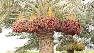 getlinkyoutube.com-Date Palm Cultivation Methods-Annapurna