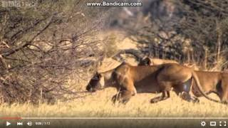 The Lion King Lion Chase Warthog