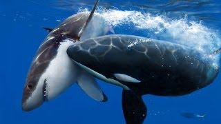 getlinkyoutube.com-Killer Whale Attack ( Documentary )