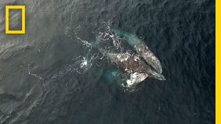 getlinkyoutube.com-Rare Video: Whales Engage in Three-Way Mating Ritual | National Geographic