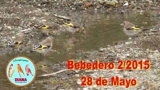 getlinkyoutube.com-Silvestrismo DIANA-Bebedero 2/2015