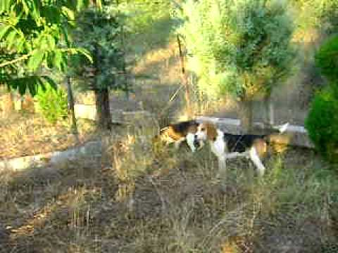 beagle εκπεδευση λαγου 1
