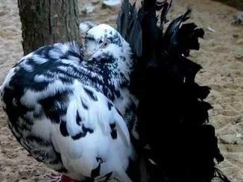 Gołębie ozdobne