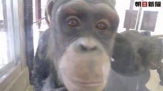 チンパンジーのルビー 岡山・池田動物園