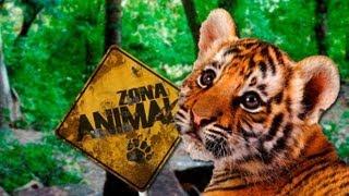 Los tigres (Panthera tigris). Caracteristicas, especies, alimentaci�n, distribucion (video)