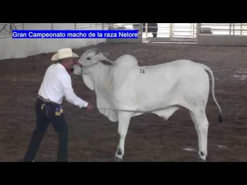 GRAN CAMPEONATO MACHO RAZA NELORE, MUESTRA NACIONAL DE GANADO CEBU, MONTERREY, MEXICO, ABRIL 2010