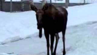 Moose falls on face