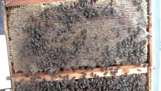 getlinkyoutube.com-Tajna pcelinjeg gnezda