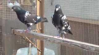 getlinkyoutube.com-pakistani High Fly pigeons Special new 2015 pat 07