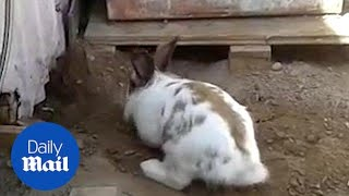 Heroic rabbit digs a tiny stuck kitten out of trouble! width=