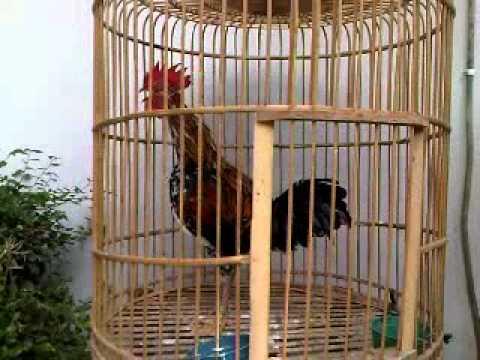 Ayam Ketawa Jogja 1