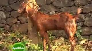 getlinkyoutube.com-Success story of goat rearing breeding of goat part 2