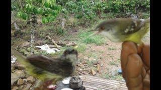 pikat burung ciblek dapat banyak banget menggunakan mp3 dan getah