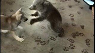 getlinkyoutube.com-Grizly Bear Cub & Wolf Cub Playing