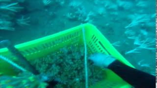 getlinkyoutube.com-Austrailian Corals Collecting Alcans & Dendro's