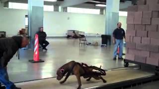 getlinkyoutube.com-البيتبول يسحب 5000باوند (انا بحب الكلاب) ادمن noha