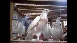 getlinkyoutube.com-سوق الحمام بالاسكندرية تصويرمحمد حلمى وأيمن مدرسة pigeons