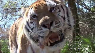 Huge Male Tiger Eating Time | Big Male Tiger Rescue 2017