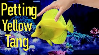 getlinkyoutube.com-Petting Yellow Tang Like a Dog! CRAZY